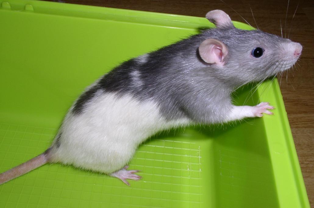 Что едят крысы в домашних условиях 984