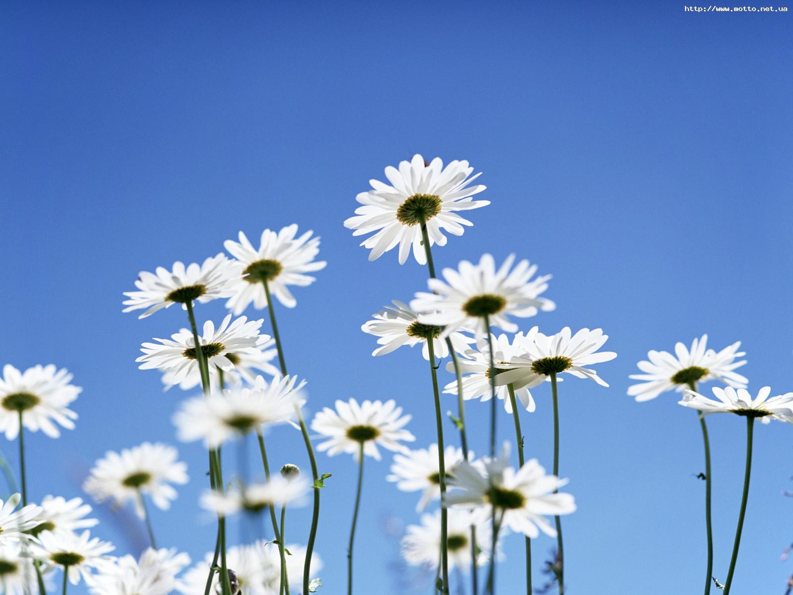 У віршах лореляй квіти вірш