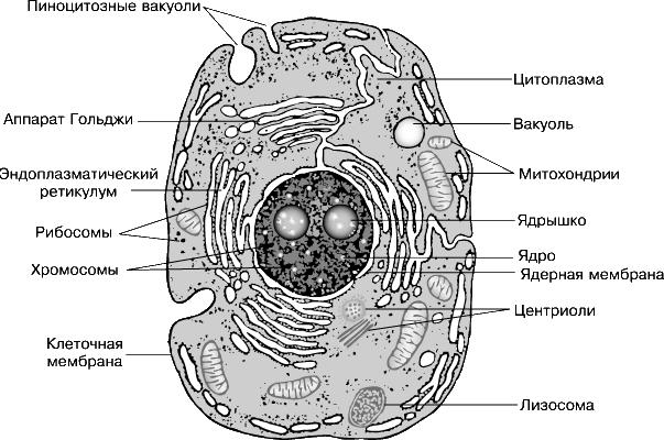 Изображение животной клетки
