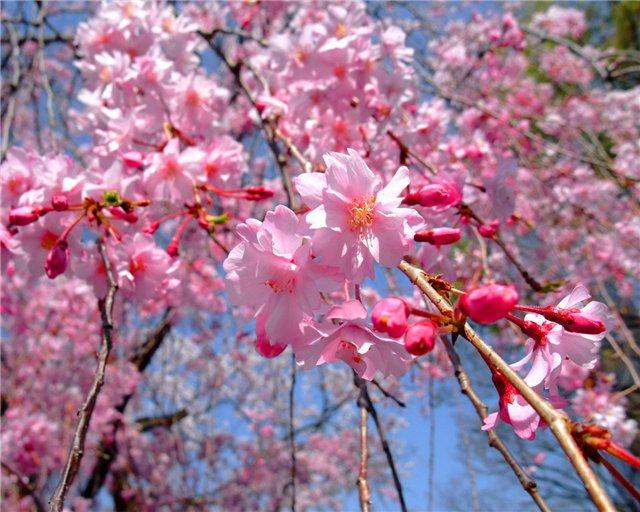 Весенние цветы цветущие деревья фото
