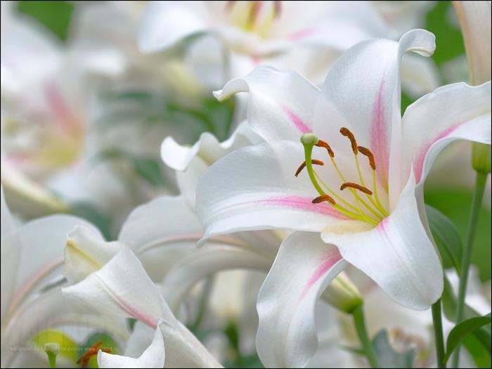 КРІПАКОС: Біла лілія - ВІРШ, Вірші, поезія. Клуб поезії