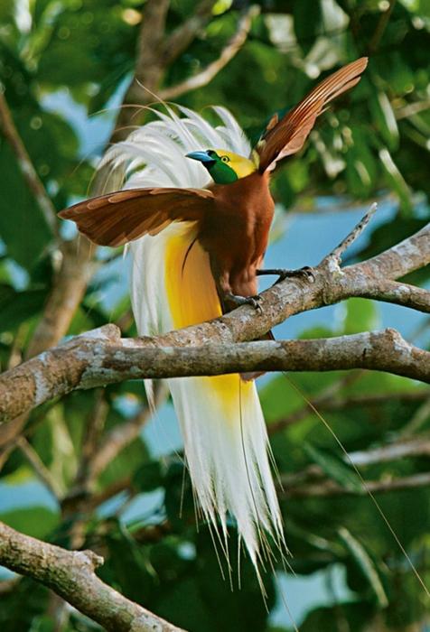 Райские птицы из далёких стран (18 фото) .