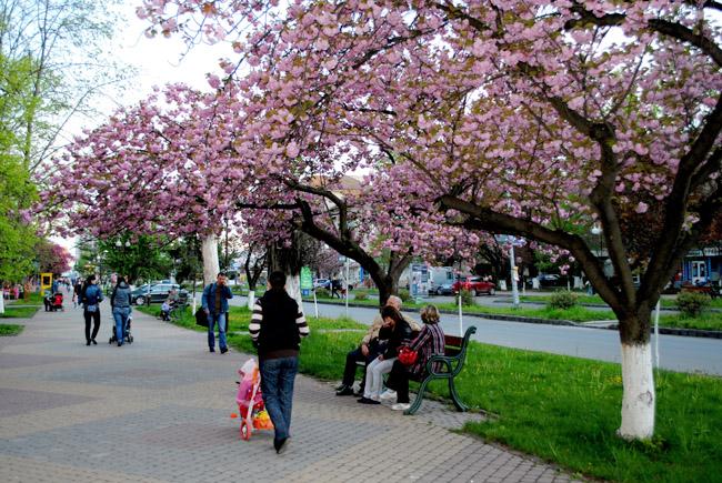 traven` :: А в Ужгороде сакуры цветут.