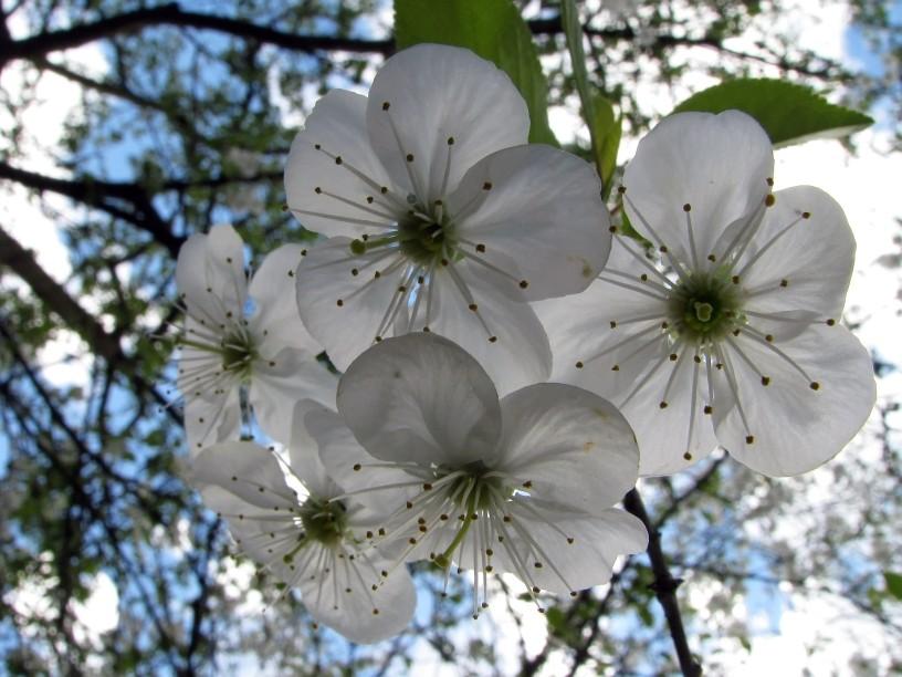 Леся Геник :: Вишня цвіте